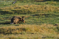 Scottish Hare (gcampbellphoto) Tags: mammal hare nature wildlife scotland cairngorms aviemore gcampbellphoto biodiversity