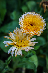 Fleurs du jardin (vostok 91) Tags: vostok91 canon canonef70300mmf456isusm eos40d fleurs flowers flore jaune orange jardin