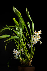 Coelogyne nitida (Wall. ex D.Don) Lindl., Coll. Bot.: t. 33 (1824) (sunoochi) Tags: orchidlover coelogyne flowers plants nature ラン anggrek orquideas 植物 ニチダ plantmorphology orchidspecies 蘭 セロジネ nitida green orchid botany species orchids