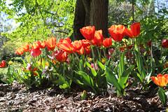 Tulipes, jardin public de Bordeaux (fa5962) Tags: gironde nouvelleaquitaine bordeaux fleurs tulipe tulipes jardinpublic france frédéricadant adant eos760d canon