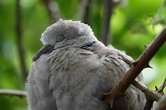 Asleep in the brambles (hedgehoggarden1) Tags: baby collareddove young birds rspb wildlife nature sonycybershot brambles asleep norfolk eastanglia uk sony feathers bird dove