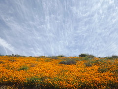 California Poppies and clouds (h willome) Tags: 2019 california lakeelsinore walkercanyon wildflowers superbloom