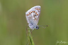 4B9A2489 Brown Argus 190519 FNGY copy (Glenn Beasley) Tags: butterfly butterflies nature insect macro macrodreams macrounlimited ariciaagestis brownargus naturephotography