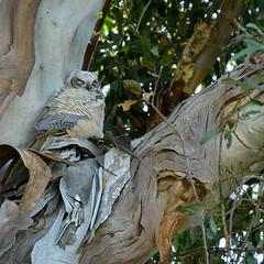 Great Horned Owl owlet (phoca2004) Tags: california birding z6 nikon greathornedowl ucsantabarbara santabarbara devereuxslough birds santabarbaracounty owlet bubovirginianus goleta unitedstatesofamerica