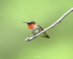 Ruby throated hummingbird (andyraupp3) Tags: birds wildlife nature rubythroatedhummingbird hummingbird ruby
