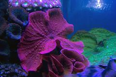 (Cindy en Israel) Tags: coral fucsia verde green azul blue animal fauna textura fondo eilat israel acuario turismo travel tour paseo viaje