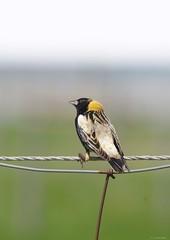 bobolink fence (S. J. Coates Images) Tags: migration songbird blackbird bobolink