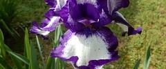 purple and white iris, petals spread out, ours (Martin LaBar) Tags: southcarolina pickenscounty iris iridaceae irisdomestica lirio petals flower white purple spring frühling