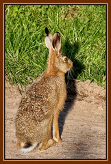 HARE TODAY GONE TOMORROW (OLD GIT WITH A CAMERA) Tags: