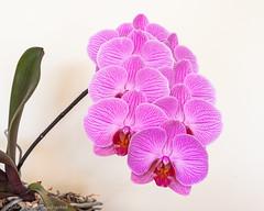 Orchid - DSC_0148 (John Hickey - fotosbyjohnh) Tags: 2019 may2019 orchid cabinteely dublin ireland nature macro flowers plant indoor indoorplant naturalbeauty pottedplant nikon nikond750 flickr