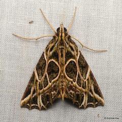 Fancy Geometer Moth, Charca fulminea (Ecuador Megadiverso) Tags: andreaskay ecuador moth wildsumaco geometridae ennominae nacophorini charcafulminea
