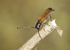 Plum Longhorn Beetle - Tetrops praeustus (Prank F) Tags: bramptonwood wildlifetrust cambridgeshireuk wildlife nature insect macro closeup beetle longhorn cerambycidae plum tetropspraeustus
