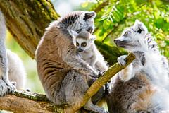Lemur (Mathias Appel) Tags: nikon d7100 madagaskar madagascar lemur lemurs animals animal tier tiere nature natur bokeh zoo tierpark germany fur fell eye eyes cc0 public domain endangered