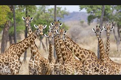 Here's looking at you. (Daniel0556) Tags: tanzania tz ruaha kwihala mammals giraffe