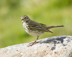 Meadow Pipit, I think. I never can tell the difference between Meadow and Tree Pipits ! (wayne.withers1970) Tags: small pretty bird wings pipit color colorful nature natural colour colourful wild wildlife wales spring flickr dof bokeh naturephotography country countryside outside outdoors alive fauna canon sigma light blur black white brown green rock stone feathers fine dark animal