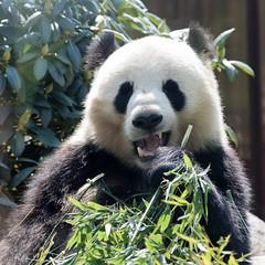 Panda and Bamboo (mistermacrophotos) Tags: pan restaurant panda china copenhagen zoo bamboo black white shoots cute bear rare bucket list eating green cuddly soft clumsy