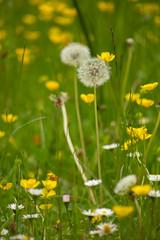 Dandelion clocks (alasdair massie) Tags: nationaltrust cambridge lode wildflowers angleseyabbey dandelion england unitedkingdom