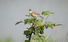 Whitethroat (blue33hibiscus) Tags: bird whitethroat hamwall rspb naturereserve somerset