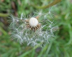 Dandelion seed head, losing seeds (Monceau) Tags: dandelion seedhead few seeds left readytofly