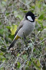 White-eared bulbul (santm) Tags: birds bharatpur keoladeonationalpark wildlife bulbul whiteearedbulbul bird