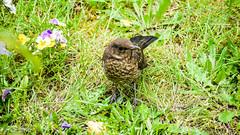 Vogel 2 (Emsbiker59) Tags: amsel vogel tier garten zahm natur wiese bird