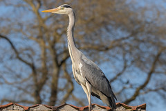 Grey heron on roof. (Frederik0711) Tags: