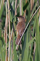 reed warbler (DODO 1959) Tags: wildlife reedwarbler avian birds animal outdoor reeds nature migrant canon 100400mmmk2 1dmk4 somerset england rspbhamwall