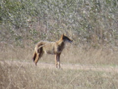 Coyote - Texas by SpeedyJR (SpeedyJR) Tags: ©2019janicerodriguez aransasnwr aransascountytx coyote wildlife nature nwr nationalwildliferefuges aransascountytexas texas speedyjr