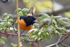 Baltimore Oriole (Linda Ramsey) Tags: wildlife outdoors nature may orange birds bird backyard ontario oriole baltimoreoriole