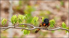(c)WMH_2019_05_19_6236 American Redstart (WesleyHowie) Tags: americanredstart kentville wildlife birds canada location warbler minersmarsh novascotia