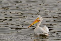 Pelican-2383 (jedschwake) Tags: 55200mm closeups lightroom5 1000islandsnaturecenter kaukauna wi nikon edited lightroom nikond7000 pelican river bird
