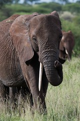 Elephant (iamfisheye) Tags: oliverscamp 300mm vr nikon f4 safari asilia d500 elephants tanzania2018 afs drivetoairstrip pf tarangirenationalpark animal