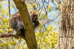 Up in a Tree (mattbpics) Tags: canon 70d tamron 150600 150600mm goshen connecticut porcupine wildlife nature mammal