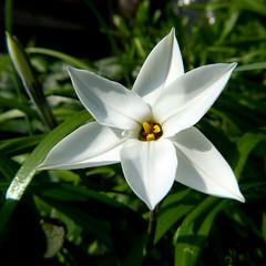 Tritelia P1450092mods (Andrew Wright2009) Tags: garden flowers cultivated white bulb tritelia
