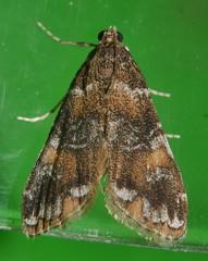 Many colour moth Elophila sp aff responsalis Crambidae Airlie Beach rainforest P1140167 (Steve & Alison1) Tags: many colour moth elophila sp aff responsalis crambidae airlie beach rainforest
