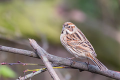 Over the shoulder look (DavidHowarthAgain) Tags: oldmoor southyorkshire rspb nature march 2019 reedbunting emberizaschoeniclus spring
