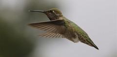 Anna's Hummingbird (Larry Bolander Sr.) Tags: hummingbird annas