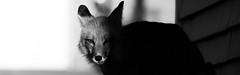 Fox (aT0Mx) Tags: fox vulpes blackandwhite bw wide contrast brighton ontario canada pentax pentaxlens pent pentaxphotography pentaxart pentaxsmc pentaxda naturephotography nature white black