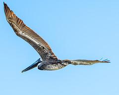 Pelican in flight. (Shiva Shenoy) Tags: pelican galveston texas spring 2019 birds nature nikond7500 sigma150600
