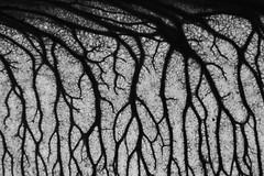 Tree Samara (Monochrome) (-FlyTrapMan-) Tags: tree samara macro nature monochrome blackandwhite