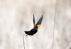 Leap of Faith (David Brook; Thanks for 1 Million + Views) Tags: bird red winged blackbird ontario