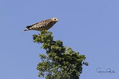 Red-shouldered Hawk (Stephen J Pollard (Loud Music Lover of Nature)) Tags: buteolineatus redshoulderedhawk raptor averapaz avedepresa birdofprey bird ave aguilillapechorojo