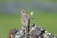 Lark Sparrow--Chondestes grammacus (Polioptila caerulea) Tags: larksparrow chondestesgrammacus sparrow tablemountain oroville buttecounty california