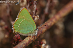 Green Hairstreak (Callophrys rubi) (gcampbellphoto) Tags: callophrys rubi green hairstreak butterfly invert insect nature wildlife ballycastle northern ireland north antrim gcampbellphoto macro leaf