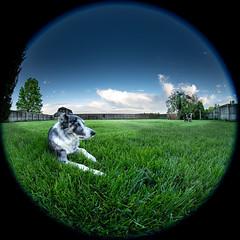 Colt and his backyard (MarkGose) Tags: bordercollie nikon d850 collie fisheye