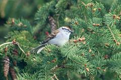 Chipping Sparrow On Spruce Tree Branch 008 - Spizella Passerina (Chrisser) Tags: birds bird sparrows sparrow chippingsparrows chippingsparrow spizellapasserina nature ontario canada canoneosrebelt6i canonef75300mmf456iiiusmlens passerellidae
