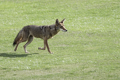 On the hunt (Alan Vernon.) Tags: california coyote southern canis latrans walking hunting prowl prowling female dog barking mammal canine animal