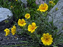 We are seven !! (Lopamudra !) Tags: lopamudra lopamudrabarman lopa anemone flora flower flowers trek trekking himalaya himalayas highaltitude highland amritganga amritgangavalley valley vale garhwal india uttaranchal uttarakhand uttarkhand wilderness wild beautiful