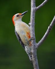 Red-bellied woodpecker. (j.r.hoff) Tags: bird woodpecker redbellied forest woods tree