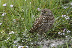 burrowing owl (Mel Diotte) Tags: owl burrowing wild nature wing eyes hunter raptor feathers mel diotte explore